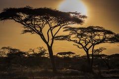 Heller Sonnenschein mit Akazienbäumen bei Sonnenuntergang lizenzfreies stockfoto