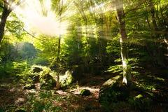 Heller Sonnenschein strahlt das Glänzen durch Niederlassungen des grünen Waldes aus Lizenzfreie Stockbilder