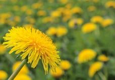 Heller, sonniger Blumenlöwenzahn Löwenzahnnahaufnahme auf dem backgro Lizenzfreies Stockfoto
