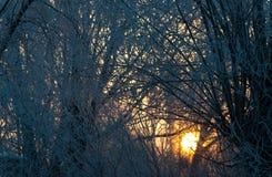 Heller sonniger Kiefernwald im Schnee lizenzfreies stockbild
