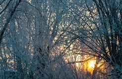 Heller sonniger Kiefernwald im Schnee stockfoto