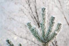 Heller sonniger Kiefernwald im Schnee lizenzfreie stockfotografie