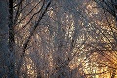 Heller sonniger Kiefernwald im Schnee stockbilder