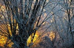 Heller sonniger Kiefernwald im Schnee lizenzfreies stockfoto