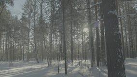 Heller sonniger Kiefernwald im Schnee Schöne Winterlandschaft im Wald stock video
