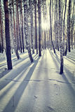 Heller sonniger Tag in einem Winterbirkenholz lizenzfreie stockfotos