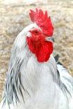 Heller Sussex-Hühnerhahn-Kopf mit rotem Kamm Stockbild