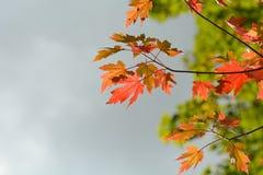 Heller vibrierender Farbahornbaum (Acer) verlässt im Fall Stockbild