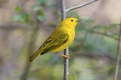 Heller Vogel des gelben Trällerers in einer Landschaft der wild lebenden Tiere mit einer grünen Waldszene Stockfoto