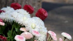 Heller Wind beeinflußt die mehrfarbigen englischen Gänseblümchen stock footage