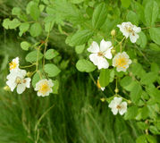 Hellere getonte Grünblätter hinter wilden Rosen Lizenzfreie Stockfotografie