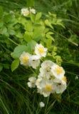 Helleres getontes Grün verlässt hinter wilde Rosen gefallenen Blumenblättern Stockbild