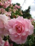 Helles attraktives buntes hellrosa königliches Bonica stieg die Blumen, die im Frühsommer an der Königin Elizabeth Park blühen lizenzfreie stockfotos