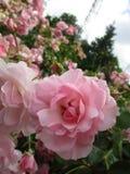 Helles attraktives buntes Rosa königliches Bonica stieg die Blumen, die im Frühsommer an der Königin Elizabeth Park Garden blühen stockfotos