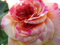 Helles attraktives buntes Rosa stieg die Blume, die im Frühsommer an der Königin Elizabeth Park blüht lizenzfreies stockfoto
