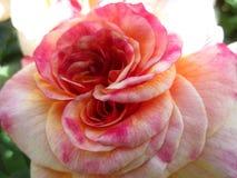 Helles attraktives buntes Rosa stieg die Blume, die im Frühsommer an der Königin Elizabeth Park Rose Garden blüht lizenzfreie stockfotografie