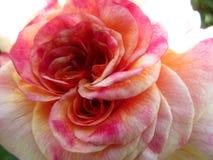 Helles attraktives buntes Rosa stieg die Blume, die im Frühsommer an der Königin Elizabeth Park Rose Garden blüht lizenzfreie stockfotos