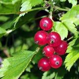 Helles Bild der roten Johannisbeere unter grünen Blättern Lizenzfreie Stockfotos