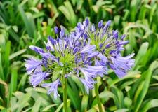 Helles blaues Agapanthus africanus Lizenzfreies Stockfoto