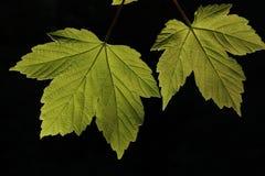 Helles Eindringen des Abends durch die Blätter Stockfoto