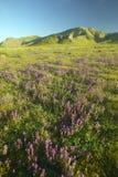 Helles Frühlingsgelb blüht, Wüstengold, Purpur und Kalifornien-Mohnblumen nahe den Bergen im Carrizo-Nationaldenkmal, Sout Lizenzfreies Stockfoto