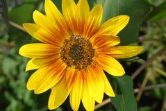 Helles Gänseblümchen in der Sonne Lizenzfreie Stockbilder