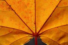 Helles gelb-rotes Herbstblatt stockfotografie