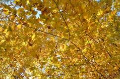 Helles gelbes Falllaub Stockbilder