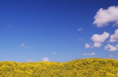 Helles gelbes Feld unter blauem Himmel Lizenzfreie Stockbilder
