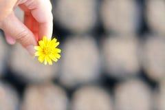 Helles gelbes Gänseblümchen geben Liebe und Hoffnung Stockbilder
