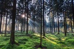 Helles Glänzen des Morgens durch die Bäume in einem Wald Lizenzfreies Stockbild