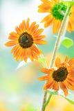 Helles helles der Sonnenblumen lizenzfreie stockfotografie