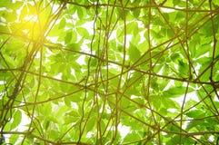 Helles junges grünes Laub entziehen Sie Hintergrund Stockbilder