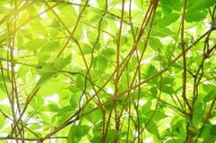 Helles junges grünes Laub entziehen Sie Hintergrund Stockfotografie