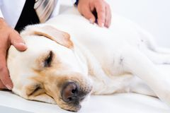 Helles Labrador an einer Aufnahme am Tierarzt Lizenzfreies Stockfoto
