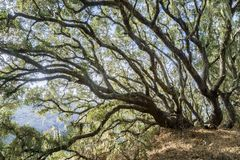 Helles Licht, das durch einen Wald der Küstenliveeiche glänzt (Eiche agrifolia), Spitzeflechte (Ramalina-menziesii) hängend von lizenzfreies stockfoto