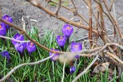 Helles purpurrotes Schneeglöckchen des Krokusses in einem blühenden Park an einem sonnigen Frühlingstag lizenzfreie stockbilder