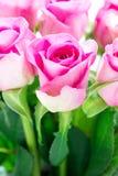 Helles Rosa lizenzfreies stockfoto