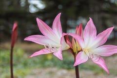 Helles rosa Crinum-powellii, das im Küstenwald blüht Stockfotografie