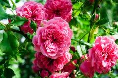 Helles Rosa stieg Blumen auf grünem Bush stockfotos