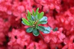 Helles Rosa und grüne Blumen im italienischen Garten stockfoto