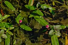 Helles rosa Wasser knotweed Blume - Persicaria-Amphibien Stockfotos