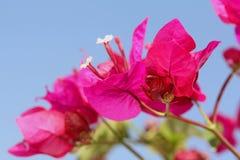 Helles rosafarbenes Buganvilia stockbilder