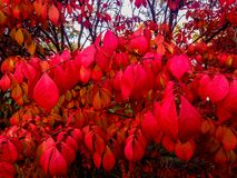 Helles Rot lässt das Beleuchten herauf Herbstbüsche stockfoto