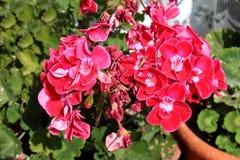 Helles Rot mit der weißen blühenden Mittelpelargonien-Pelargonie und schloss verwelkende zweifarbige Blumen in den großen Blument lizenzfreies stockbild