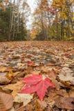 Helles rotes Blatt im Fall-Wald Stockfotos