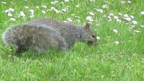 Helles, süßes Eichhörnchen, das auf dem grünen Grasfeld der Blumen im Jahr 2019 vorgeht stock footage
