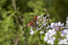 Helles, schönes Schmetterling Pfau-Auge stockfotos