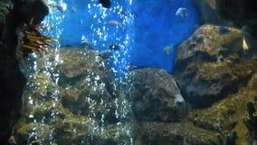 Helles tropisches Fischschwimmen im reinen Wasser stock video footage