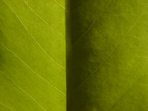 Helles u. dunkles Magnolie-Blatt stockbild